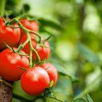 Cara Menanam Tomat dan Tips Merawatnya ala SehatQ.com